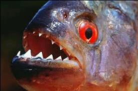 The Piranha
