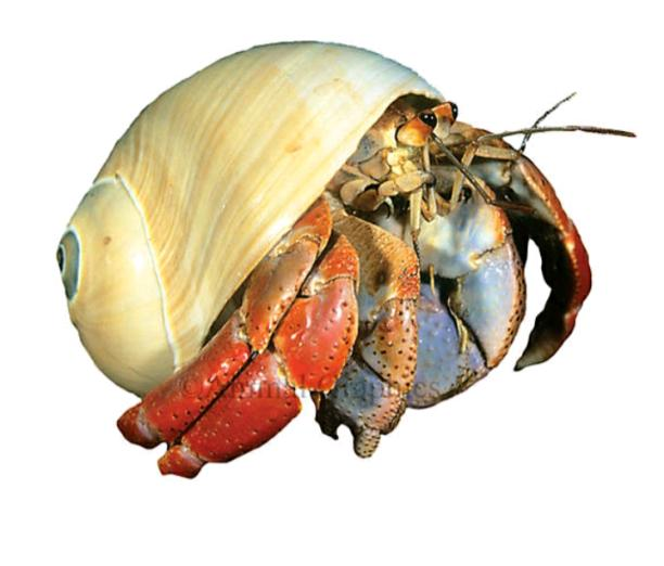 Hermit Crab abuse