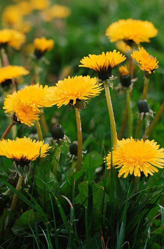 A Wish A Dandelion?