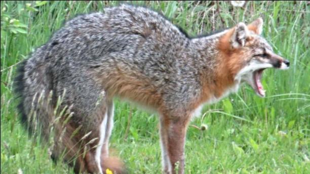 Fox mimicks a chicken 🙃