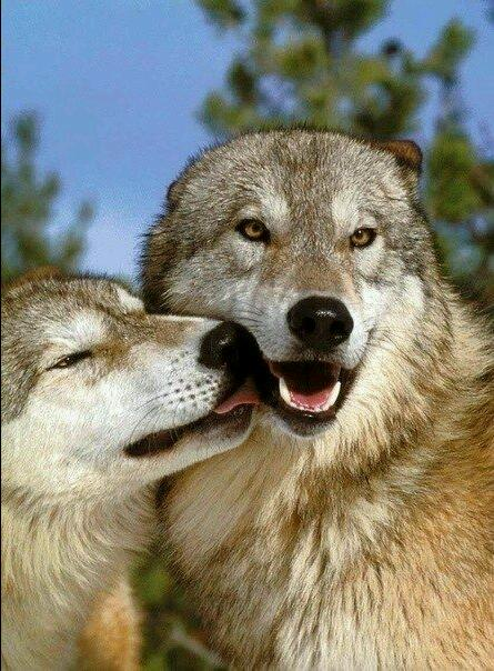 The love of a wolf