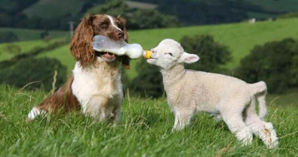 THE DOG AND LAMB...