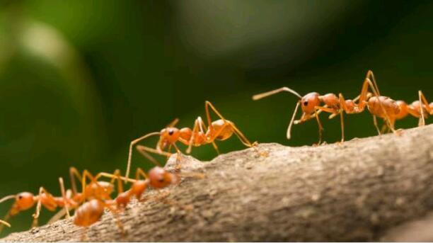THE ANTS...