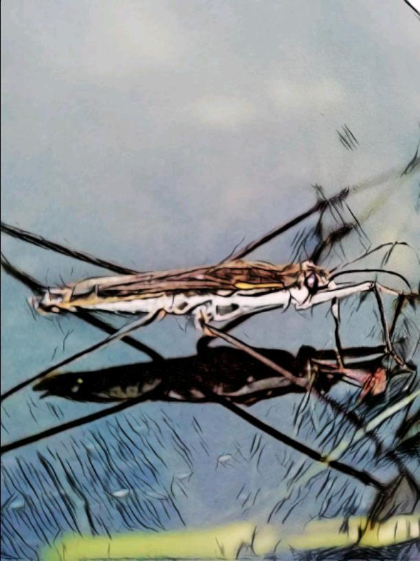 The water strider